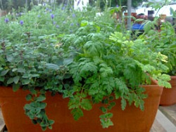 Grow A Garden In Pots Edible landscaping how to grow herbs from seed garden mix and match herbs in containers for an attractive edible appearance workwithnaturefo