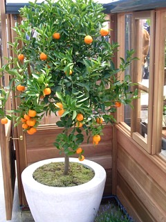 Edible landscaping how to grow citrus in a container for Growing a lemon tree in a pot from seed