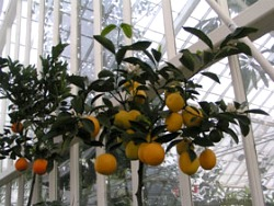 Edible Landscaping   How To: Grow Citrus In A Container