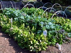 Edible Landscaping Edible of the Month Radicchio Gardenorg