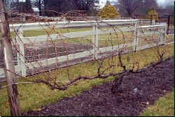 Edible Landscaping How To Prune Grape Vines Garden Org