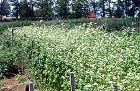 garden cover crop. Edible Landscaping - Fall Garden Cover Crops Crop C