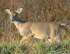 Deer are cute, intuitive, persistant, and adept at surviving in the woods or on our gardens.