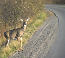 The greater frequency of deer encounters on suburban roads indicates their increasing numbers.