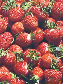 Maximize strawberry harvest by providing shade during peak flowering