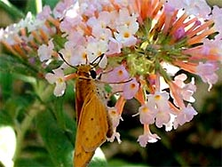 Top Shrubs for Butterflies