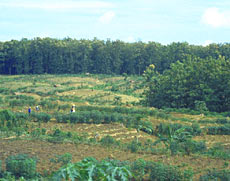 On Java, young teak plantations are interplanted with corn.