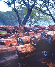 Teak logs with blue markings are certified as sustainably grown.