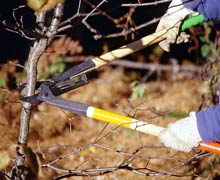 Use loppers to cut branches that are too large for hand shears, but too small for a saw.
