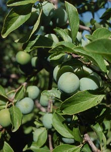 Green gage plums are ready to harvest.