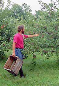 Dwarf apple trees will grow and produce in gardens throughout the country.