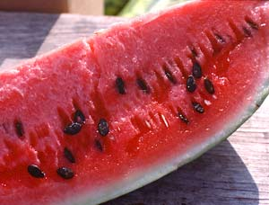 How is it that a scant 100-plus days after planting, a single watermelon seed becomes a 20-pound melon?