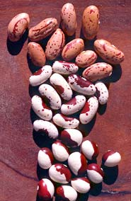 The often astonishing colors and patterns of dry beans express the mystery inherent in every seed.