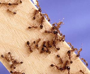 Pest Control Library Fire Ants Gardenorg