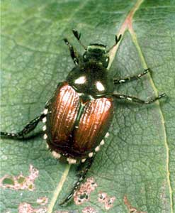 "Iridescent Japanese beetles might be considered pretty if they weren't so destructive. Adults are about 1/2"" long."