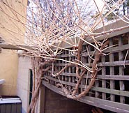 Remove long branches each winter to maximize new flowers.