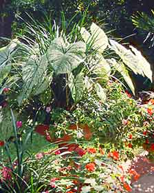 Big and exotic leaves of caladium add a tropical flair to gardens.
