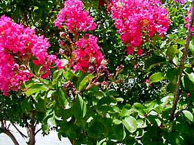 To keep your favorite crape myrtle blooming, remove blossoms as they fade.