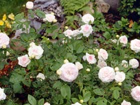 The Alba rose 'Felicite Parmentier' is diminutive, but the blossoms are loaded with a heavenly fragrance.