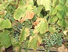 Powdery Mildew on grapes