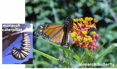 Monarch butterfly and larvae