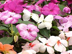 Impatiens are favorites in the shade