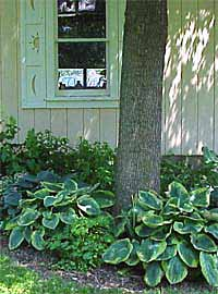 Growing Hosta Gardenorg