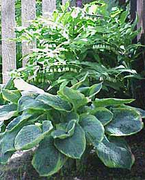 Where Hostas Grow