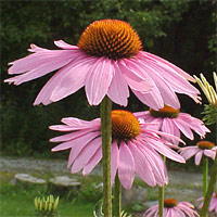 Anemone Flower on Flowers With Raised Centers  The Flower  Plant  And Root Of Some Types