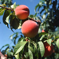 ... into a freshly harvested peach, juicy and warm from the midsummer sun
