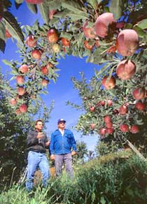 Growers survey their ripening crop of scab-resistant 'Redfree' apples