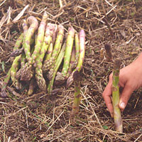 asparagus plant care instructions
