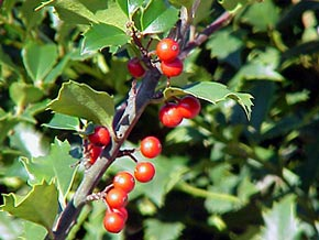 Need an antidote for gray winter days? Feast your eyes on colorful holly berries.