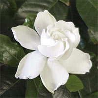 gardenia plant care instructions