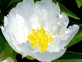 Single, white peony