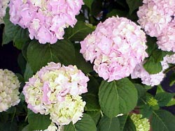 The pink blooms of hydrangea brighten up a shady spot.