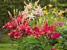 Asiatic lilies provide huge bursts of color in the summer garden.