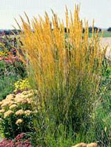 'Karl Foerster' feathered reed grass was the 2001 Perennial Plant of the Year