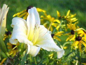 Daylilies and black-eyed Susans make attractive garden companions.