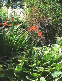 When designing your shade garden, consider texture as well as color. Here, the bright orange flowers and straplike foliage of crocosmia contrast nicely with the large hosta.