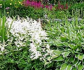 White-flowered astilbe complements the white-edged hosta.