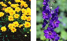 Bright yellow coreopsis and deep blue delphinum illustrate the effectiveness of using complementary colors.