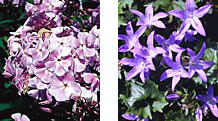 A harmonious color scheme might include a lavender phlox and blue campanula.