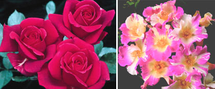 New Remember Me Roses