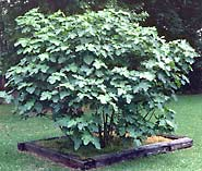 How to Plant and Care for Figs