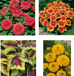 (left to right) <i>'Magellan Coral' zinnia, Gaillardia 'Arizona Sun', Coleus 'Kong Rose', and Rudbeckia 'Maya'</i>