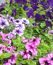 For masses of color in a sunny spot, you can't go wrong with petunias.