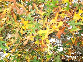 "These golden leaves can be turned into ""black gold"" for the garden. They make great soil-enriching compost or a protective mulch."