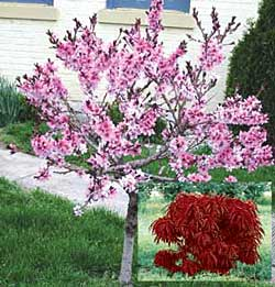 New red leaved peach national gardening association for Dwarf trees for small gardens