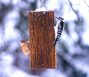 A red-breasted nuthatch (left) and a downy woodpecker breakfast at a suet feeder.